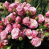 Леди Бомбастик роза веточная, фото 5