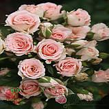 Роза Лидия спрей, фото 2