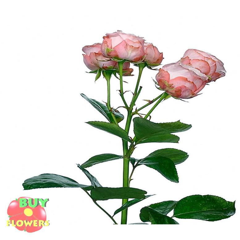 Роза Мадам Бомбастик ветка