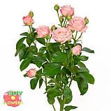 Роза Мадам Бомбастик ветка, фото 2