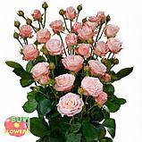 Роза Мадам Бомбастик ветка, фото 4