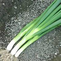 Семена лука Грин Баннер F1 100 000 сем Seminis / Семинис