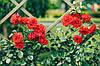 Роза плетистая Оранж Мейлландина (Orange Meillandina)