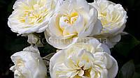Роза плетистая Монблан (Montblanc)