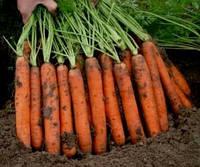 Морковь Нантиндо  F1  1 гр