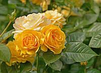 Роза плетистая Золотой Олимп (Goldener Olymp, Olympic Gold)