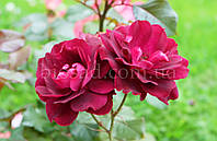 Роза плетистая Пурпурная Королева (Purple Queen)