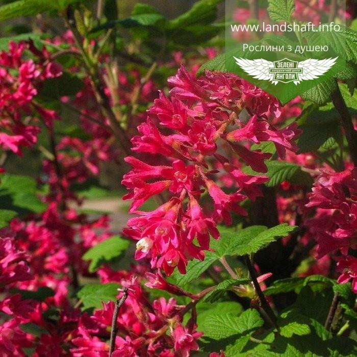 Ribes sanguineum 'King Edward VII', Смородина криваво-червона 'Кінг Едвард VII',C7.5 - горщик 7,5 л