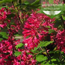 Ribes sanguineum 'King Edward VII', Смородина криваво-червона 'Кінг Едвард VII',C7.5 - горщик 7,5л