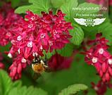 Ribes sanguineum 'King Edward VII', Смородина криваво-червона 'Кінг Едвард VII',C7.5 - горщик 7,5 л, фото 2