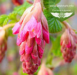 Ribes sanguineum 'King Edward VII', Смородина криваво-червона 'Кінг Едвард VII',C7.5 - горщик 7,5 л, фото 4