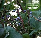 Ribes sanguineum 'King Edward VII', Смородина криваво-червона 'Кінг Едвард VII',C7.5 - горщик 7,5 л, фото 5