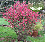 Ribes sanguineum 'King Edward VII', Смородина криваво-червона 'Кінг Едвард VII',C7.5 - горщик 7,5 л, фото 6