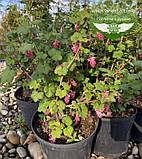 Ribes sanguineum 'King Edward VII', Смородина криваво-червона 'Кінг Едвард VII',C7.5 - горщик 7,5 л, фото 8