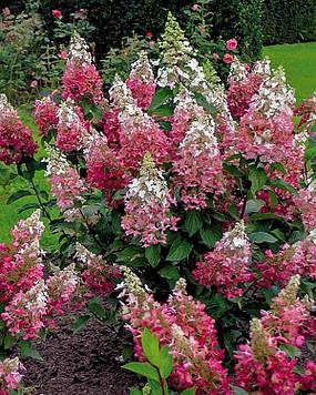 Гортензия метельчатая Пинки Винки ( Hydrangea paniculata Pinky Winky )