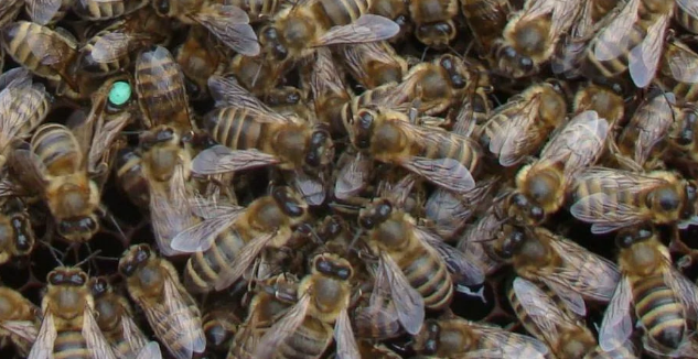Матка. Українська степова порода бджіл. Міченна. Плідна.