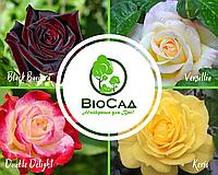 """""""Царствена Красуня"""", комплект з 4-х преміальних сортів чайно-гібридних троянд, фото 1"""