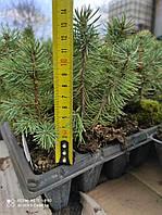 Ель голубая колючая Кейбаб (Picea pungens Glauca Arizona Kaibab) 12-14 см