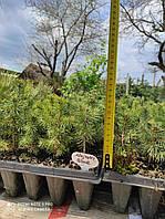 Ель голубая Глаука Маджестик (Picea pungens Glauca Majestic Blue) 10-12 см