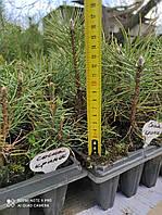 Сосна крымская или  Палласа (Pallas pine) 10 - 15 см