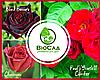 """""""Чирвова Королева"""", комплект з 3-х преміальних сортів троянд"""