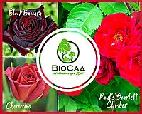 """""""Чирвова Королева"""", комплект з 3-х преміальних сортів троянд, фото 1"""