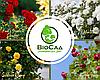 """""""Пышная Красота"""", комплект из 4-х премиальных сортов плетистых роз"""