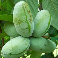 Саджанці азимины МІТЧЕЛЛ дозрівання у вересні (Бананове дерево)