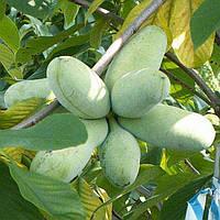 Сажены азимины ПРИМА 1216 термін дозрівання середина вересня (Бананове дерево)