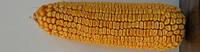 Семена кукурузы ДН ПИВИХА ФАО 180, Урожайность 11,5-12,0 т/га, Гибрид кукурузы с хорошей влагоотдачей.