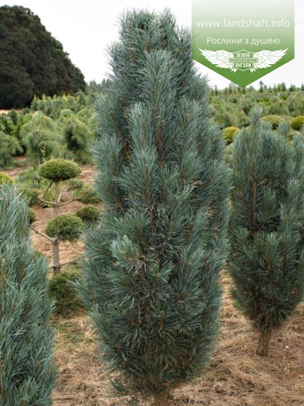 Pinus sylvestris 'Fastigiata', Сосна звичайна 'Фастігіата',C5 - горщик 5л