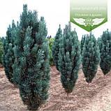 Pinus sylvestris 'Fastigiata', Сосна звичайна 'Фастігіата',C5 - горщик 5л, фото 3