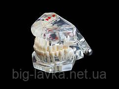 Демонстрационная модель челюсти  Прозрачный
