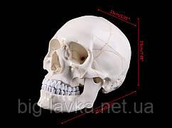Человеческий череп из пластика в натуральную величину 1:1  Белый с желтым