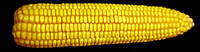 Семена кукурузы ЛЮБАВА 279 МВ ФАО -270, Урожайность 12,0-12,5 т/га., фото 1