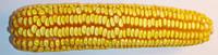Семена кукурузы ГАРАНТИЯ МВ, ФАО 290, Урожайность 10,5-11,0 т/га