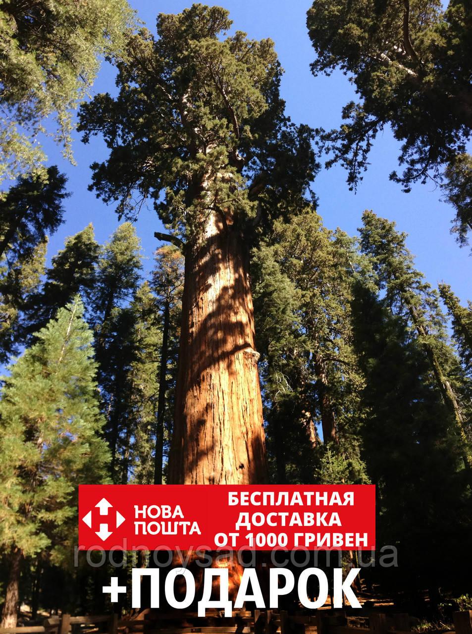 Секвойядендрон гигантский семена (50 шт) гигантская секвойя, мамонтово дерево (Sequoiadendron giganteum)