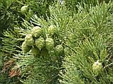 Секвойядендрон гигантский семена (50 шт) гигантская секвойя, мамонтово дерево (Sequoiadendron giganteum), фото 2