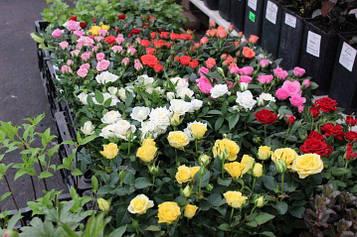 Микс бордюрных роз (5шт)