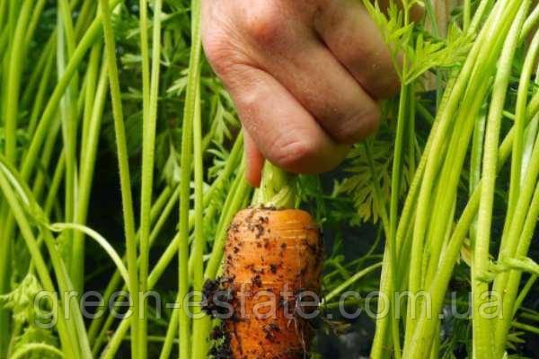 Цена на голландские семена моркови