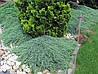 Можжевельник горизонтальный Monber Р9, фото 2
