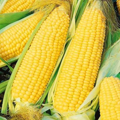 Цукрова кукурудза Багратіон, фото 2