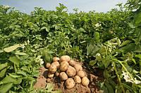 Капельный полив картофеля - секреты и правила