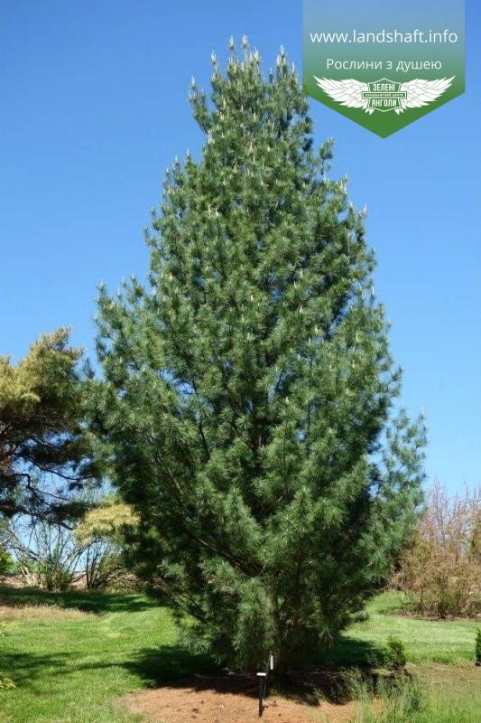 Pinus strobus 'Fastigiata', Сосна Веймутова 'Фастігіата',C5 - горщик 5л