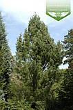 Pinus strobus 'Fastigiata', Сосна Веймутова 'Фастігіата',C5 - горщик 5л, фото 2