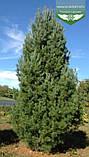 Pinus strobus 'Fastigiata', Сосна Веймутова 'Фастігіата',C5 - горщик 5л, фото 3