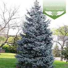Picea pungens 'Koster', Ялина блакитна / колюча 'Ватра',C5 - горщик 5л