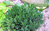 Buxus sempervirens 'Angustifolia', Самшит вічнозелений 'Ангустіфоліа',C5 - горщик 5л, фото 2