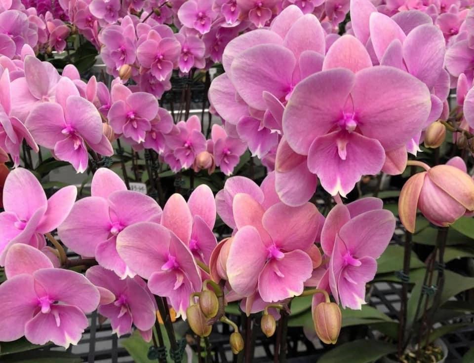 """Орхидея, горшок 2.5"""" без цветов. Сорт Lianher pudding 1086-14"""