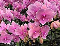 """Орхидея, горшок 2.5"""" без цветов. Сорт Lianher pudding 1086-14, фото 1"""